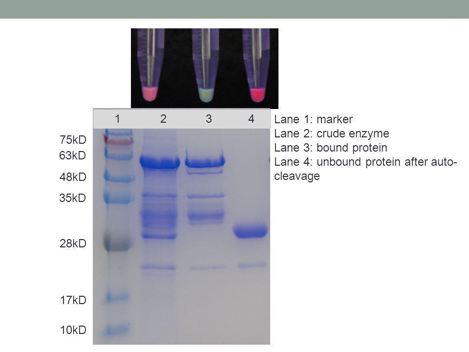 1 2 3 4 Lane 1: marker. Lane 2: crude enzyme. Lane 3: bound protein.