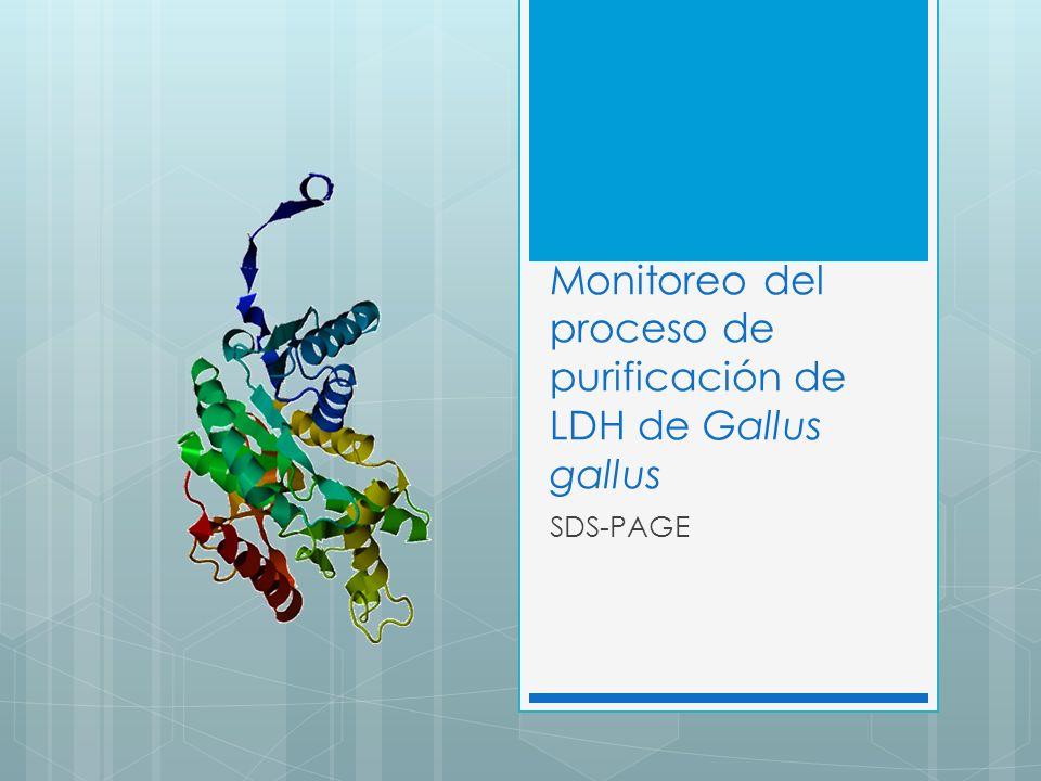 Monitoreo del proceso de purificación de LDH de Gallus gallus