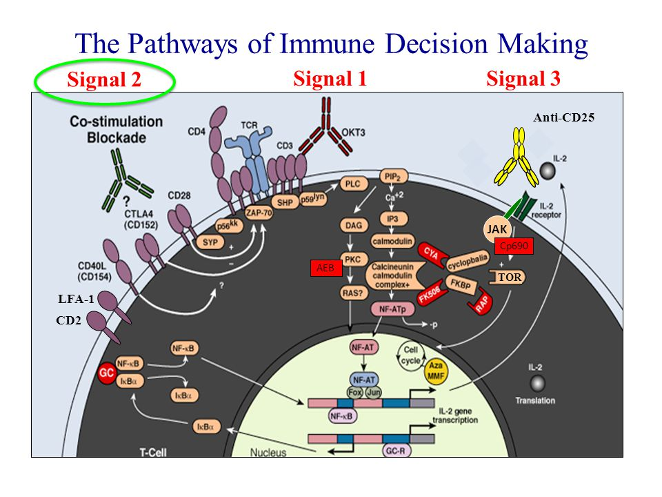 The Pathways of Immune Decision Making