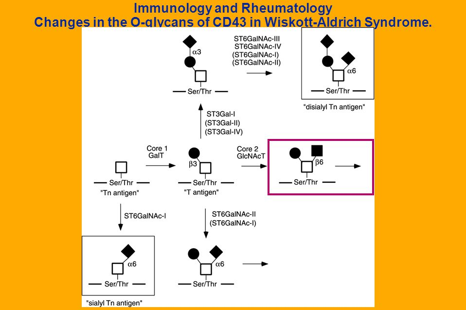 Immunology and Rheumatology Changes in the O-glycans of CD43 in Wiskott-Aldrich Syndrome.
