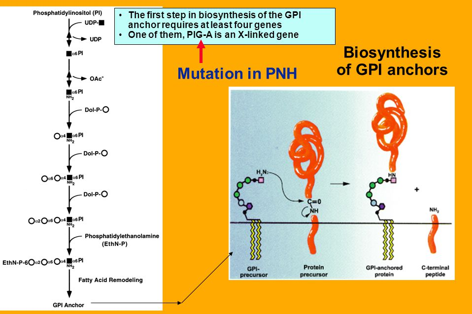 Biosynthesis of GPI anchors