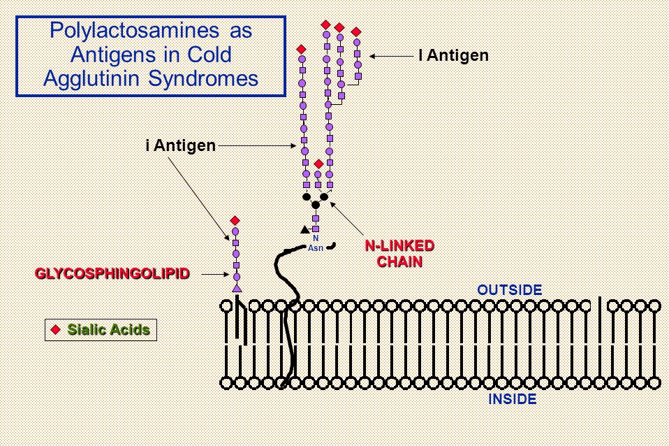 Polylactosamines as Antigens in Cold Agglutinin Syndromes