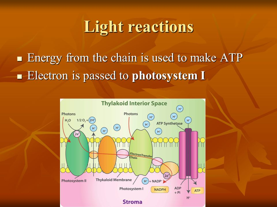 Light reactions Energy from the chain is used to make ATP