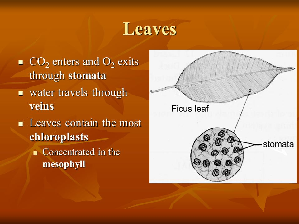 Leaves CO2 enters and O2 exits through stomata