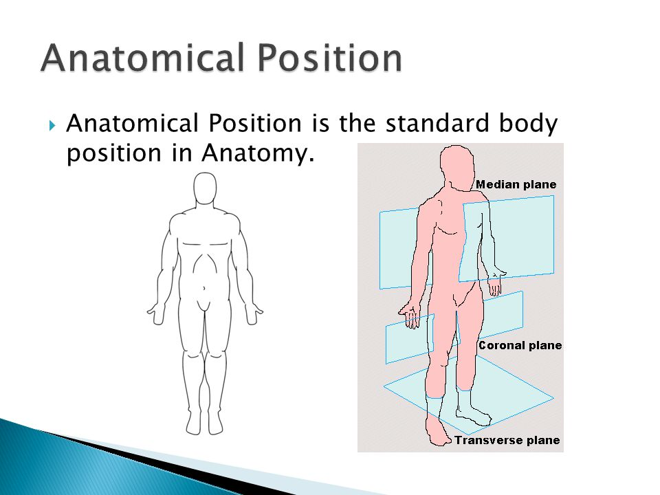 Anatomical Position Anatomical Position is the standard body position in Anatomy.