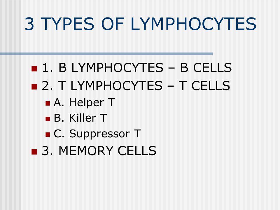3 TYPES OF LYMPHOCYTES 1. B LYMPHOCYTES – B CELLS