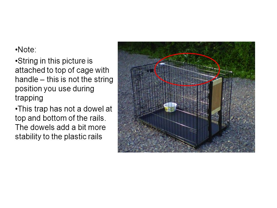 Note: String in this picture is attached to top of cage with handle – this is not the string position you use during trapping.