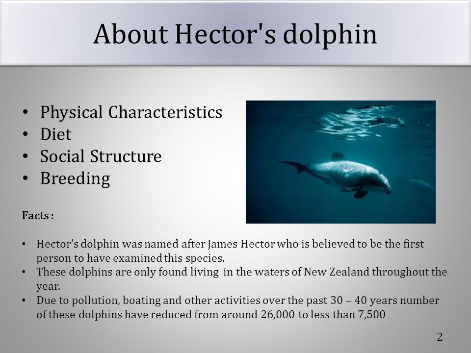 About Hector s dolphin Physical Characteristics Diet Social Structure