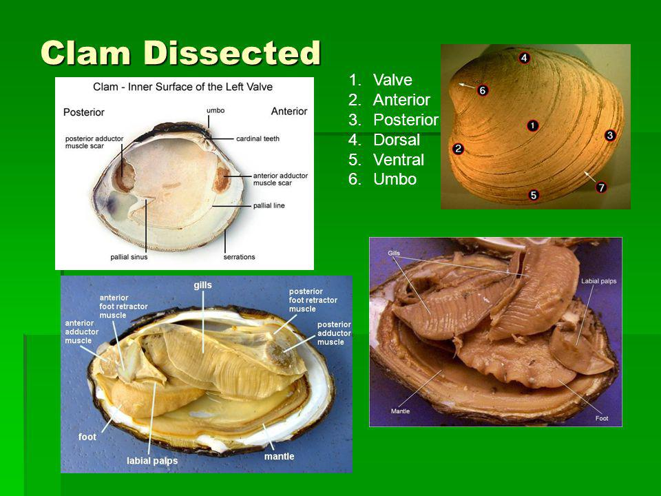 Clam Dissected Valve Anterior Posterior Dorsal Ventral Umbo