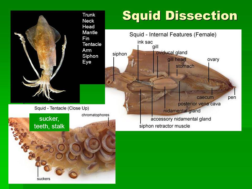 Squid Dissection sucker, teeth, stalk Trunk Neck Head Mantle Fin