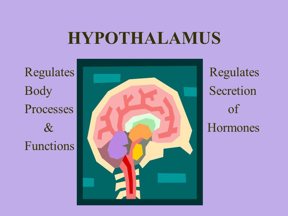HYPOTHALAMUS Regulates Regulates Body Secretion Processes of