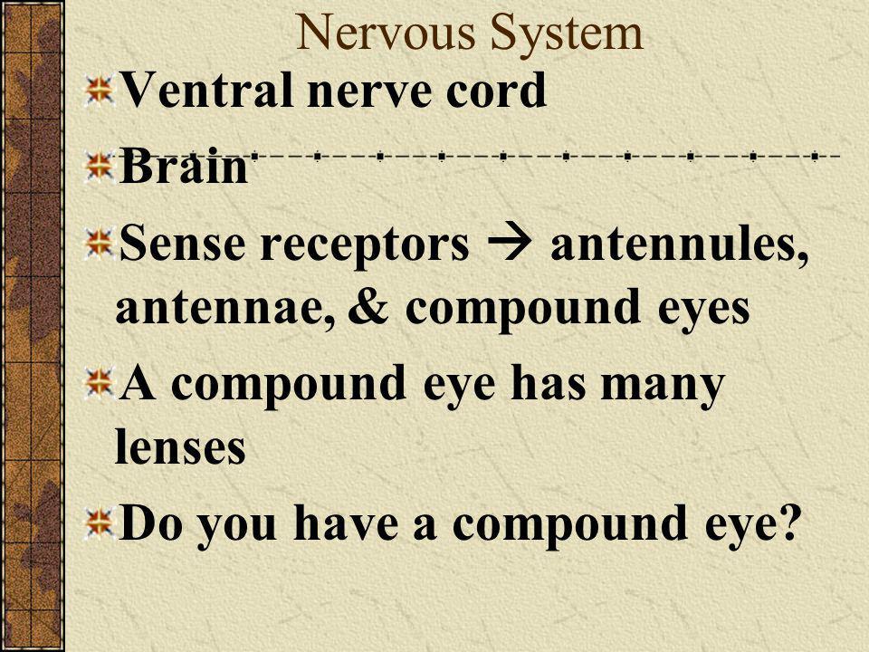Nervous System Ventral nerve cord. Brain. Sense receptors  antennules, antennae, & compound eyes.