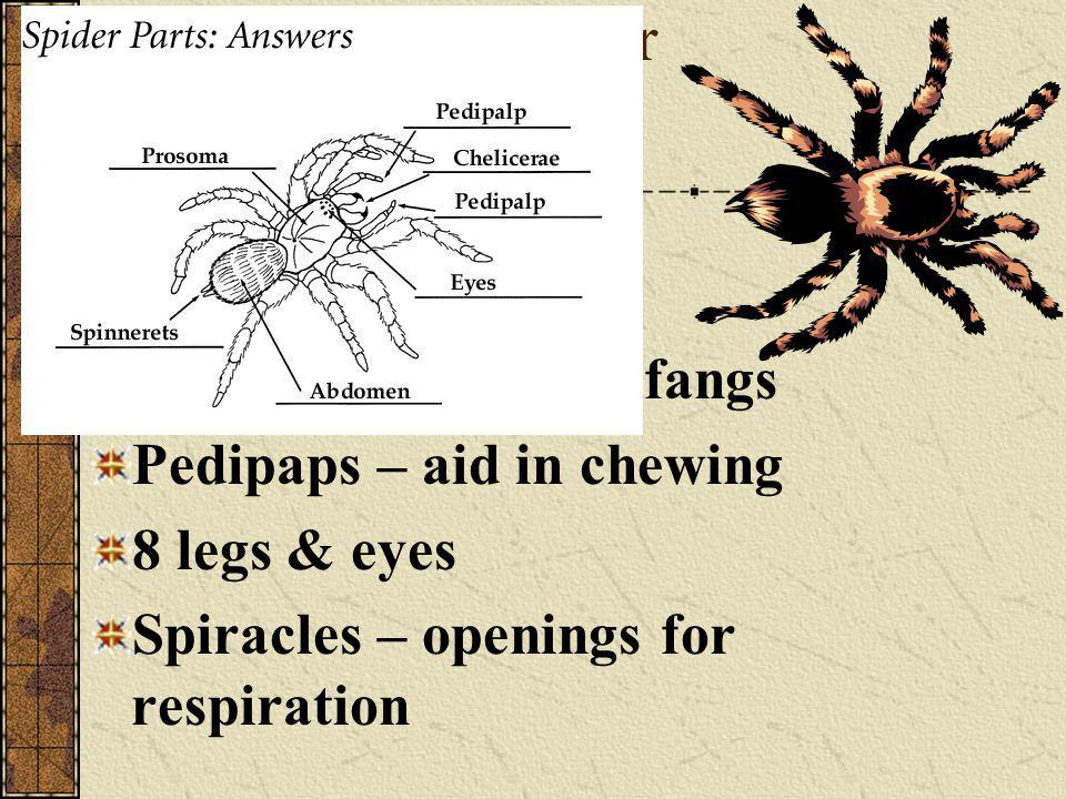 Structure of a spider 2 segments 1. Cephalothorax 2. Abdomen