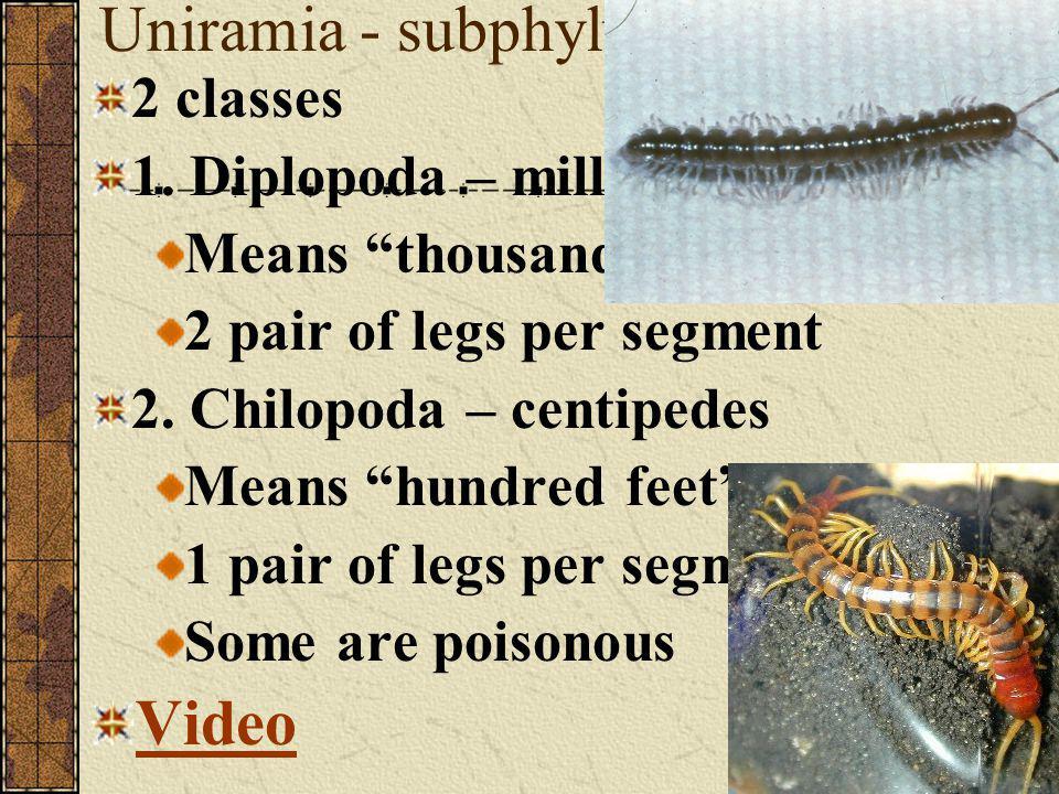 Uniramia - subphylum Video 2 classes 1. Diplopoda – millipedes