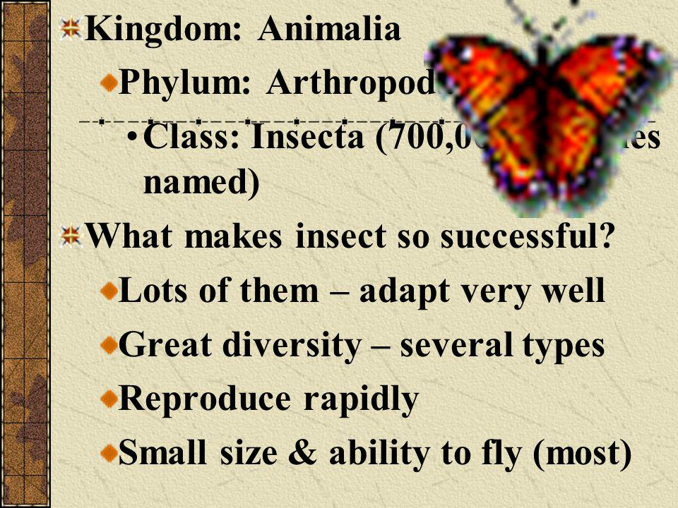 Kingdom: Animalia Phylum: Arthropoda. Class: Insecta (700,000 + species named) What makes insect so successful