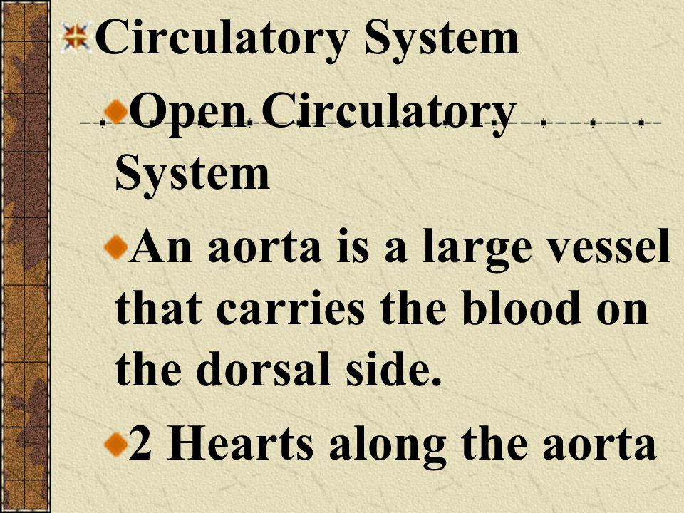 Circulatory System Open Circulatory System. An aorta is a large vessel that carries the blood on the dorsal side.