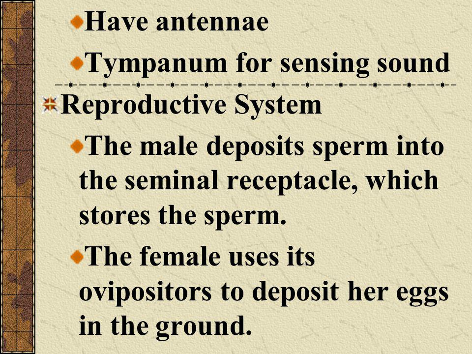 Have antennae Tympanum for sensing sound. Reproductive System. The male deposits sperm into the seminal receptacle, which stores the sperm.