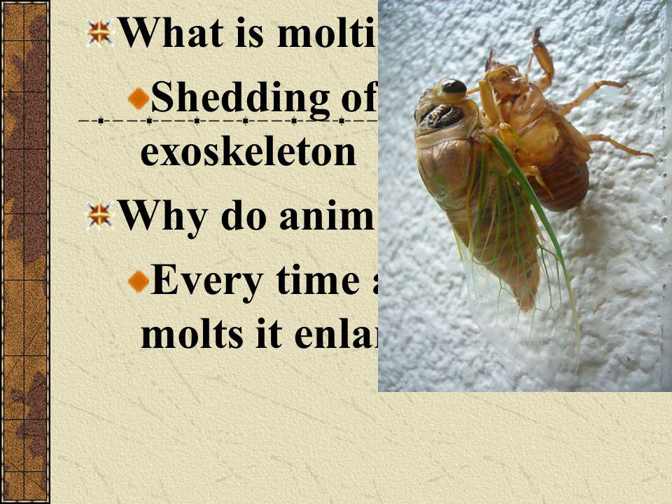 What is molting. Shedding of the exoskeleton. Why do animals molt.