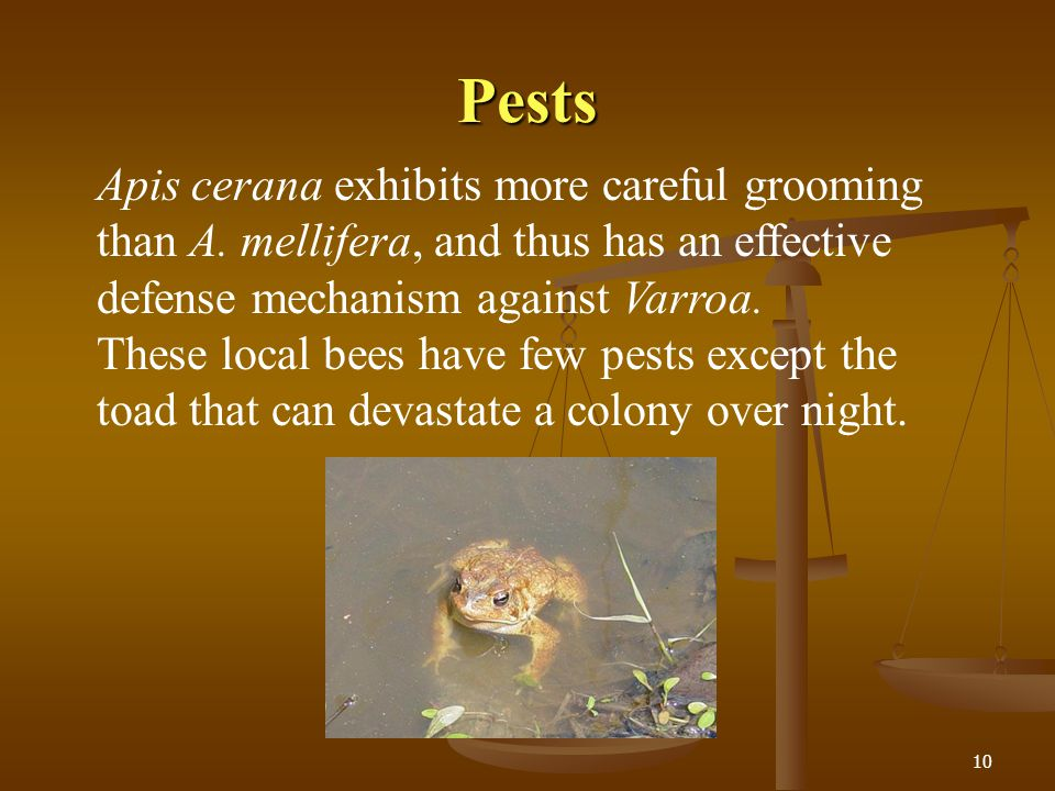 Pests Apis cerana exhibits more careful grooming than A. mellifera, and thus has an effective defense mechanism against Varroa.