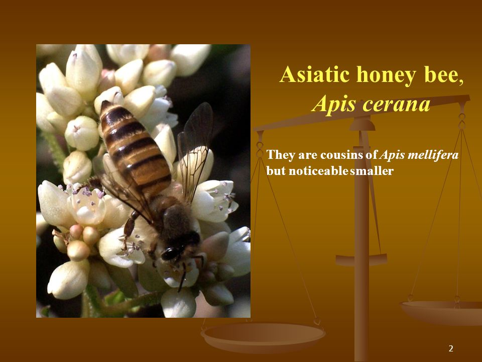 Asiatic honey bee, Apis cerana