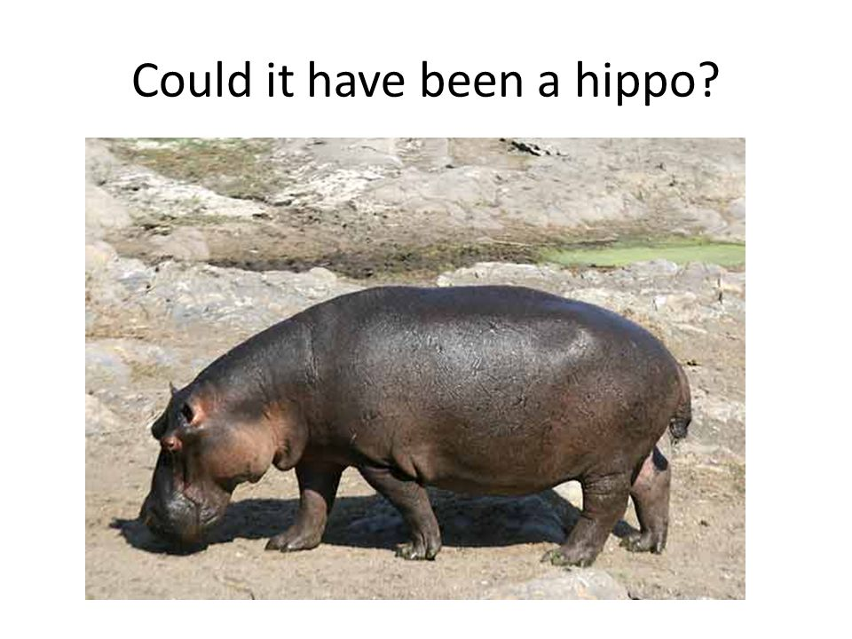 Could it have been a hippo