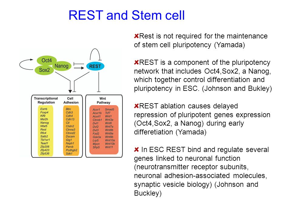 REST and Stem cell Rest is not required for the maintenance of stem cell pluripotency (Yamada)