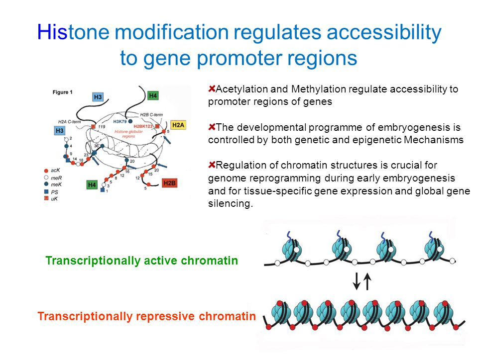 Histone modification regulates accessibility to gene promoter regions