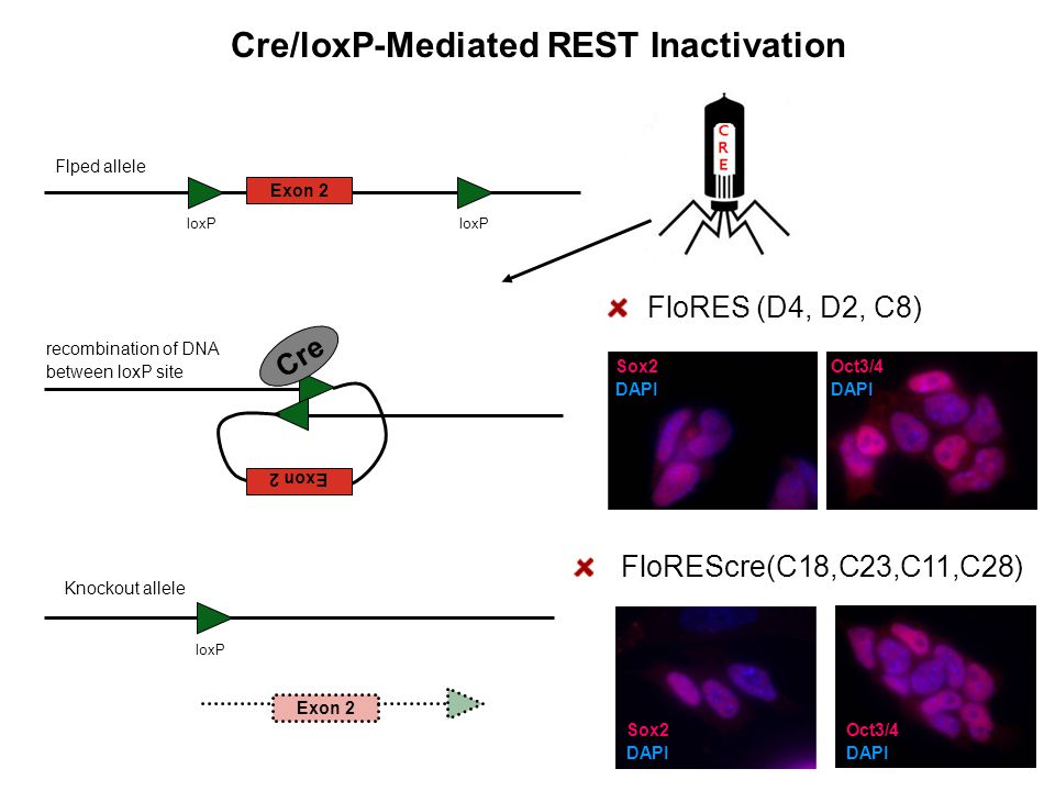 Cre/loxP-Mediated REST Inactivation