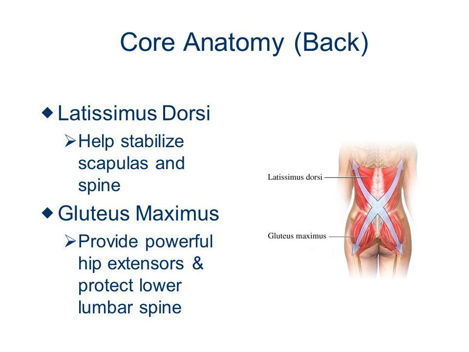 Core Anatomy (Back) Latissimus Dorsi Gluteus Maximus