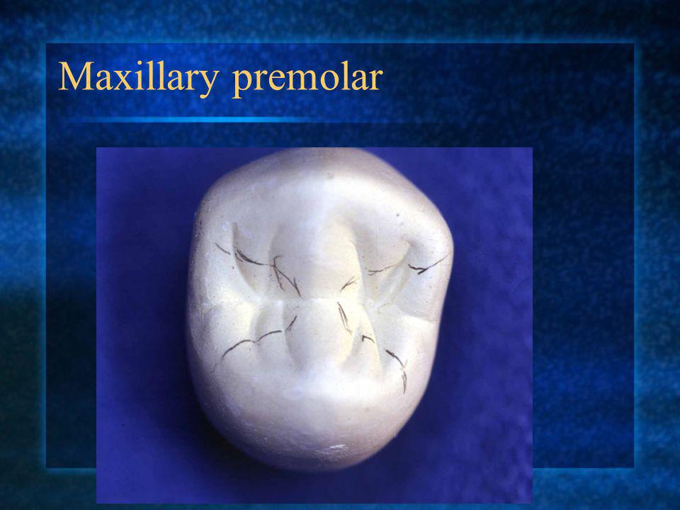 Maxillary premolar