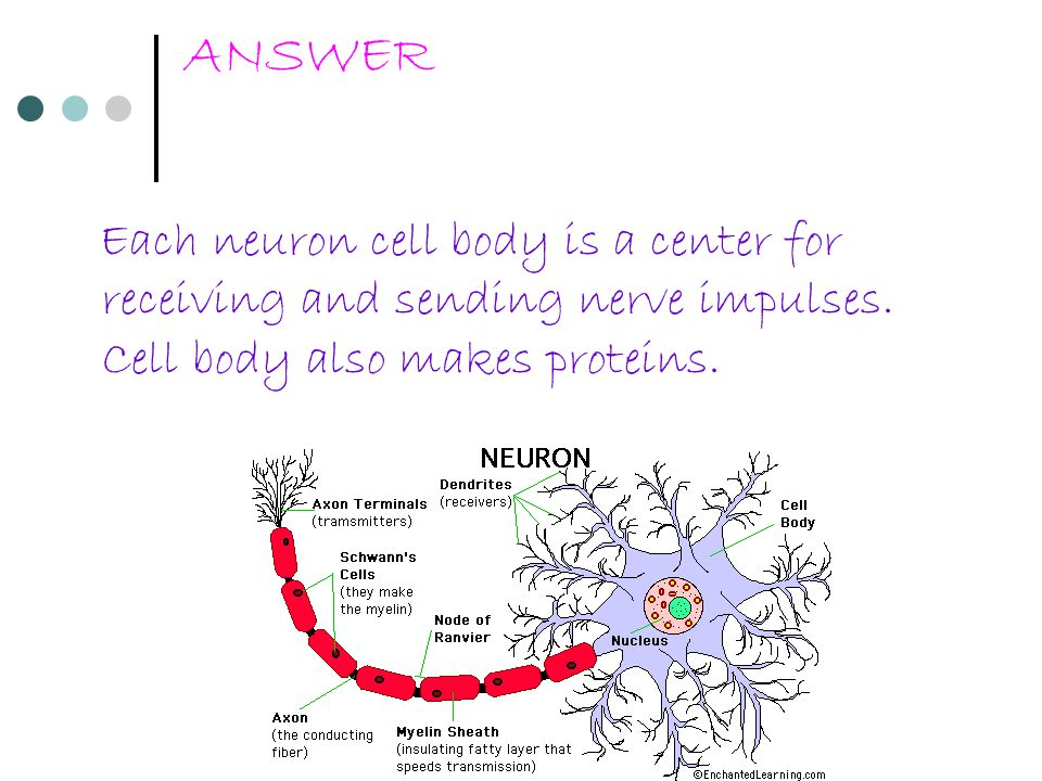 ANSWER Each neuron cell body is a center for receiving and sending nerve impulses.