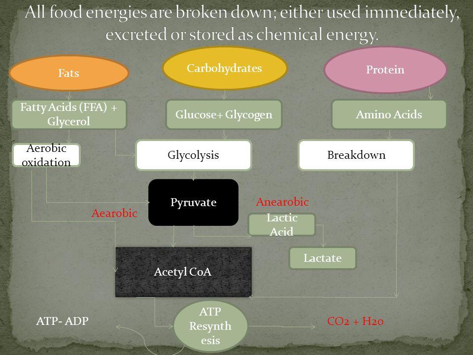 Fatty Acids (FFA) + Glycerol