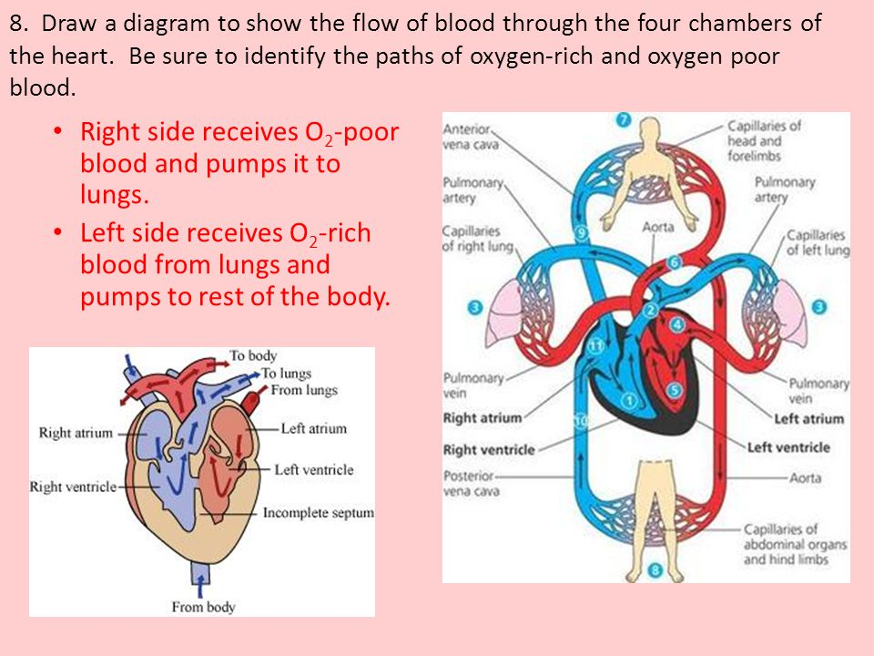 Right side receives O2-poor blood and pumps it to lungs.