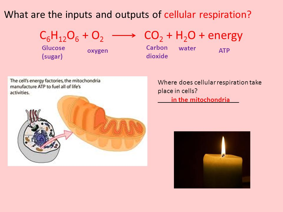What are the inputs and outputs of cellular respiration