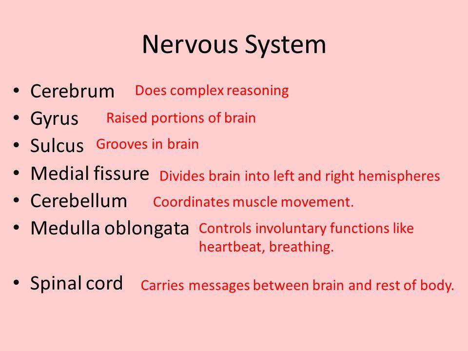 Nervous System Cerebrum Gyrus Sulcus Medial fissure Cerebellum