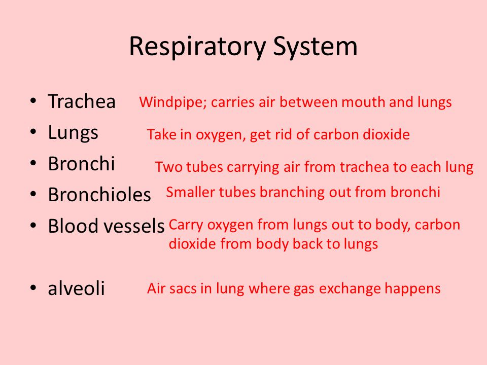 Respiratory System Trachea Lungs Bronchi Bronchioles Blood vessels