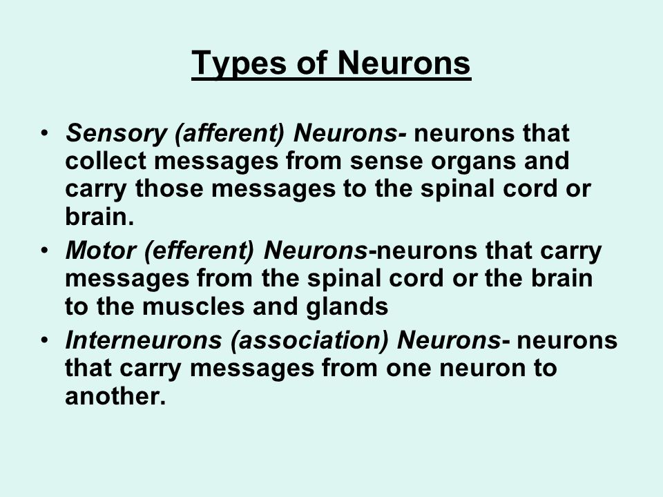 Types of Neurons Sensory (afferent) Neurons- neurons that collect messages from sense organs and carry those messages to the spinal cord or brain.