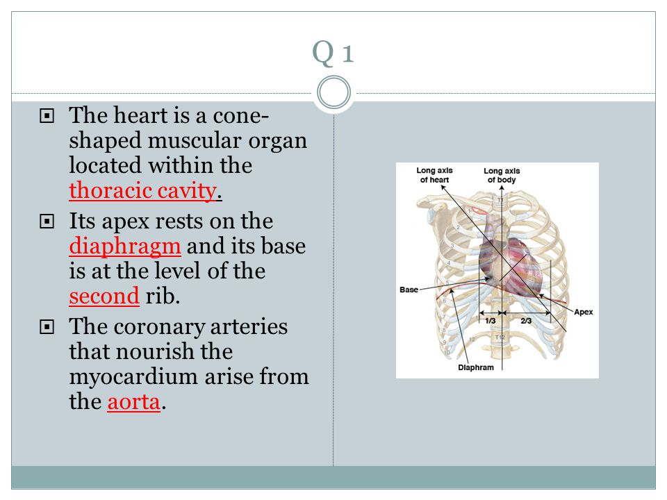 Q 1 The heart is a cone-shaped muscular organ located within the thoracic cavity.