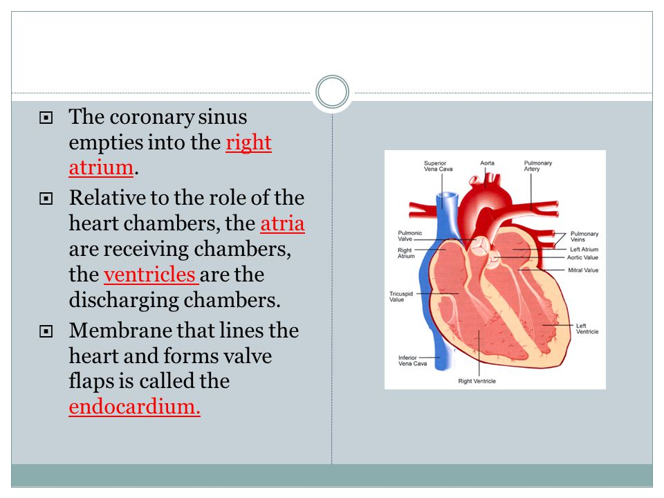 The coronary sinus empties into the right atrium.