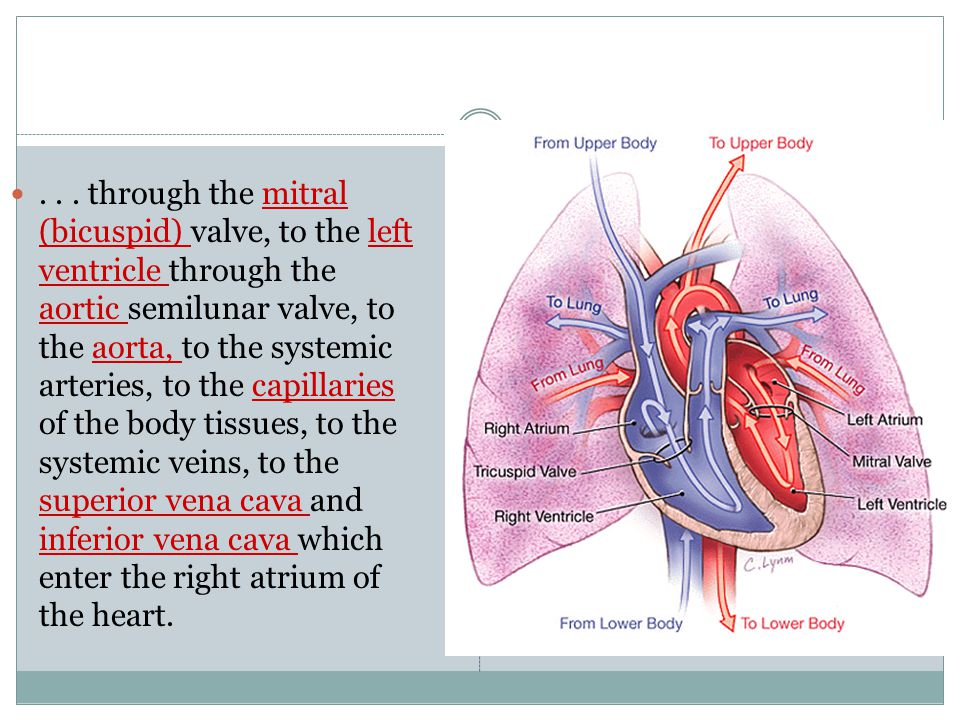 . . . through the mitral (bicuspid) valve, to the left ventricle through the aortic semilunar valve, to the aorta, to the systemic arteries, to the capillaries of the body tissues, to the systemic veins, to the superior vena cava and inferior vena cava which enter the right atrium of the heart.