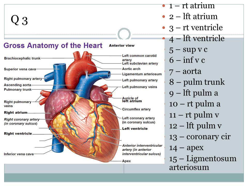 Q 3 1 – rt atrium 2 – lft atrium 3 – rt ventricle 4 – lft ventricle