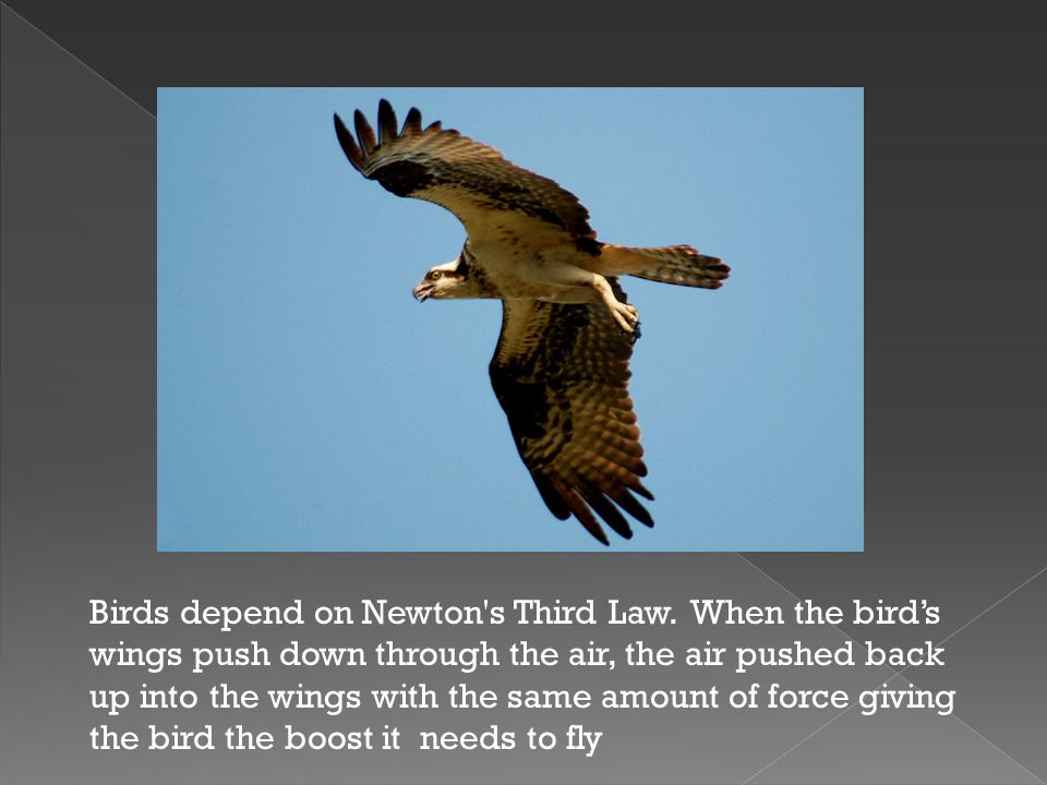 Birds depend on Newton s Third Law