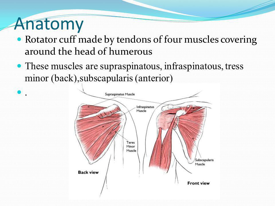 Anatomy Rotator cuff made by tendons of four muscles covering around the head of humerous.