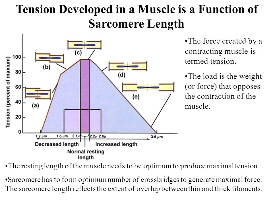 Tension Developed in a Muscle is a Function of Sarcomere Length