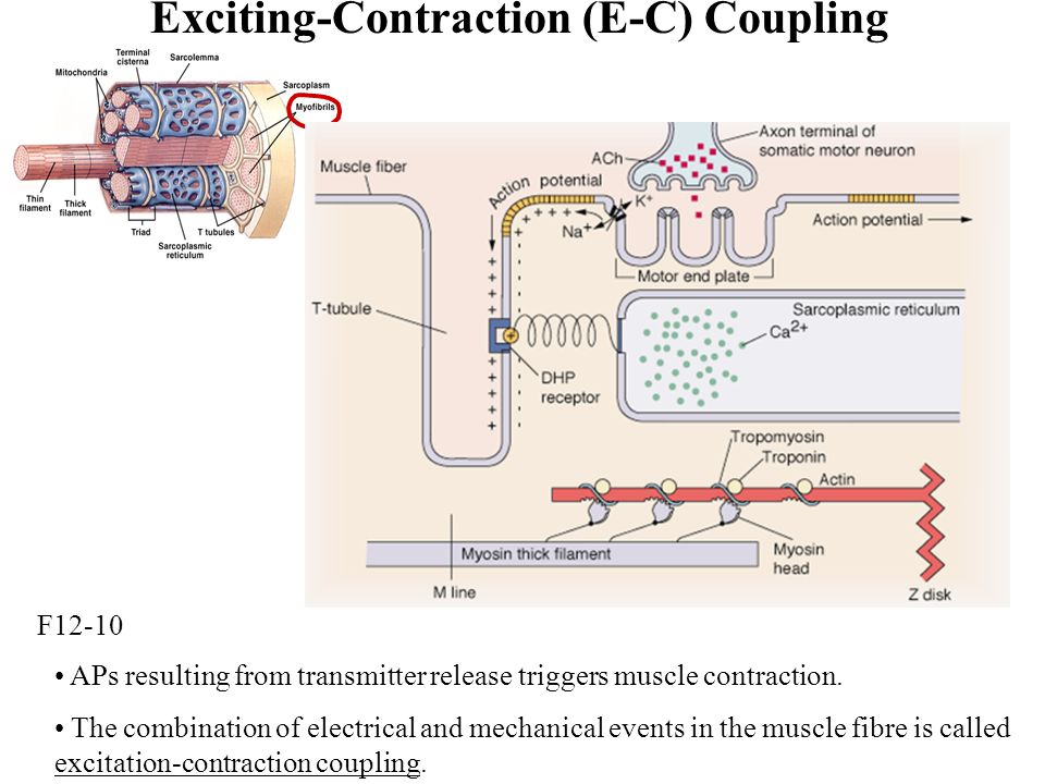 Exciting-Contraction (E-C) Coupling
