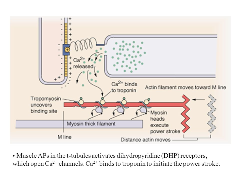 Muscle APs in the t-tubules activates dihydropyridine (DHP) receptors, which open Ca2+ channels.