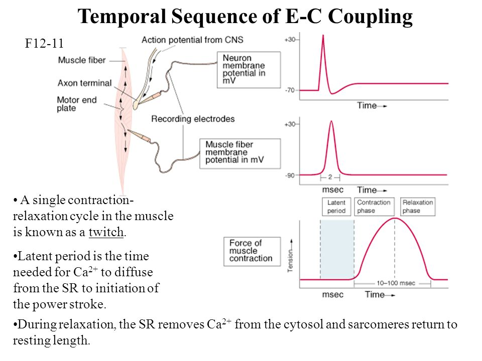 Temporal Sequence of E-C Coupling
