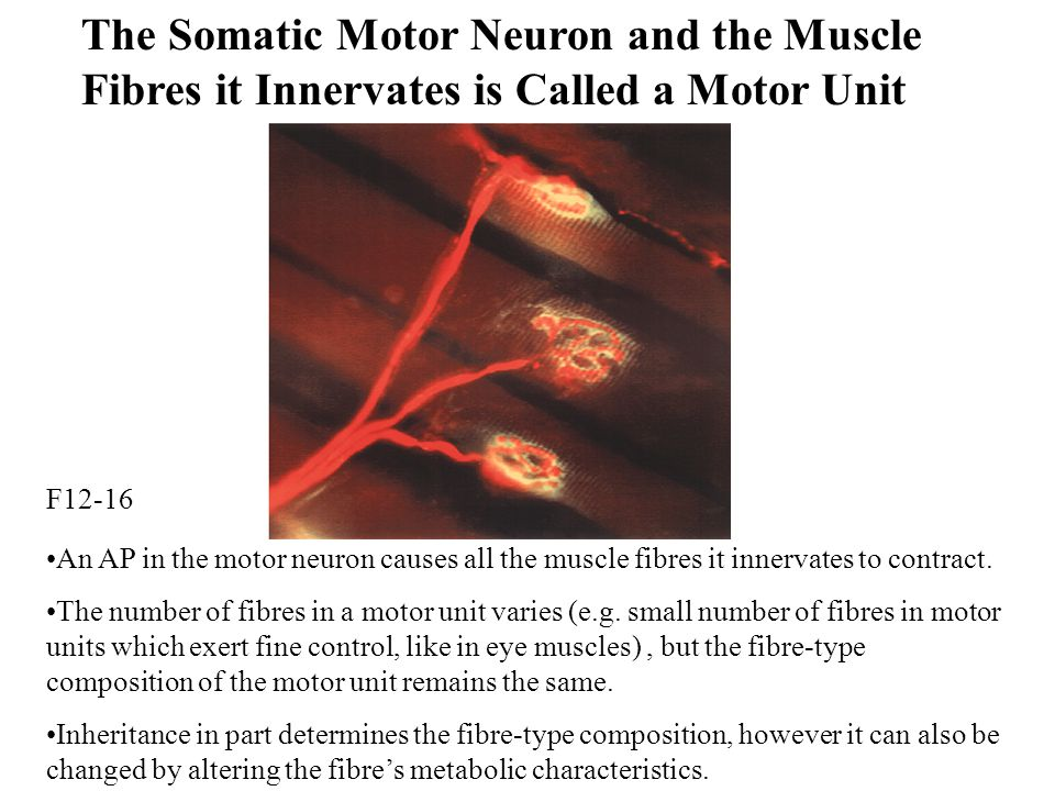 The Somatic Motor Neuron and the Muscle Fibres it Innervates is Called a Motor Unit