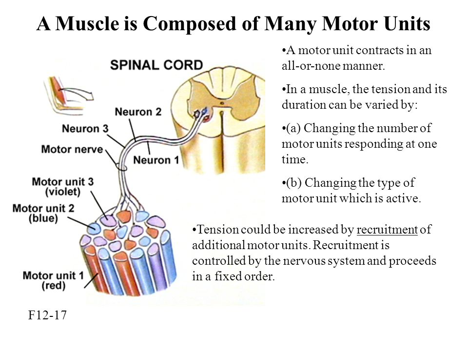 A Muscle is Composed of Many Motor Units