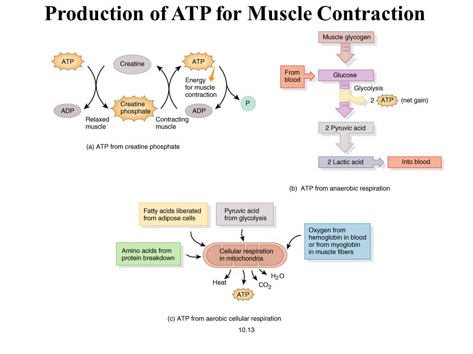 Production of ATP for Muscle Contraction